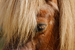 Blondie (Western Horse)