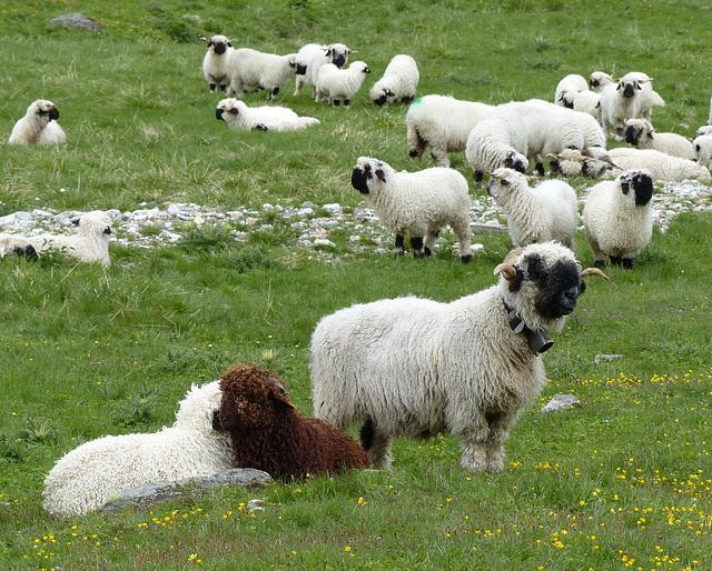 Le mouton à nez noir du Valais