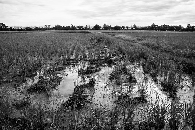 Paddy fields in late October
