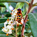 Hover fly on olive blossoms ©UdoSm