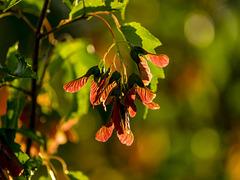 Japanese Maple Seeds - Back-lit