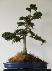 Chinese Elm- Bonsai