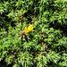 20190609 4873CPw [R~GB] Gallischer Stechginster (Ulex gallii), Deer Park, Pembrokeshire, Wales