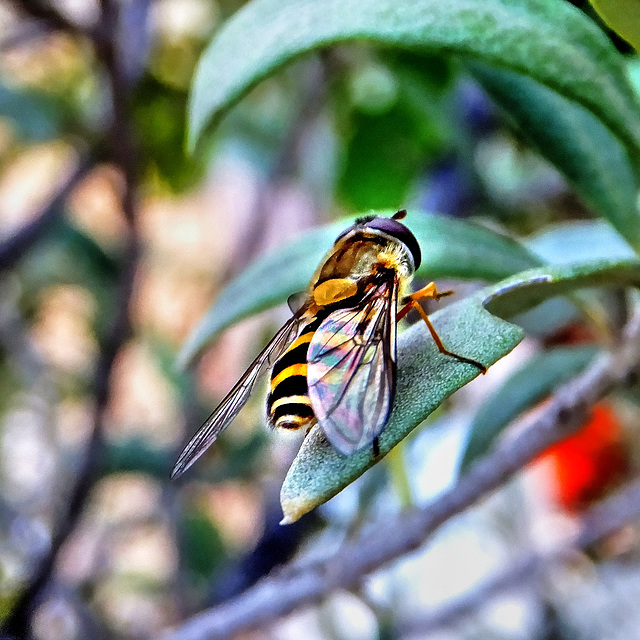 Hover Fly in a Olive tree ©UdoSm