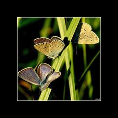 les papillons me manquent, et vous..!