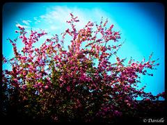 *** Pommier décoratif en fleurs ***