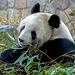 Giant Panda in Beijing zoo