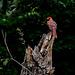 5258373 DxOdcL · Cardinal