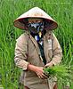 woman in a rice field (Vietnam)