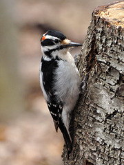 woodpecker st bruno April 2021 DSC 8736