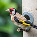 Goldfinch on my feeder55