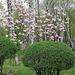 Magnolia in the park