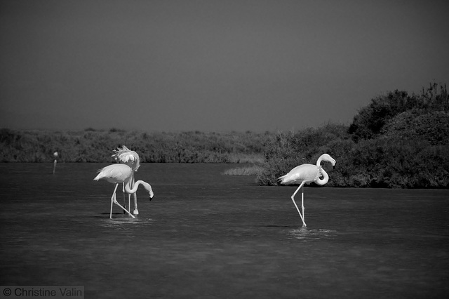 flamingo in mono