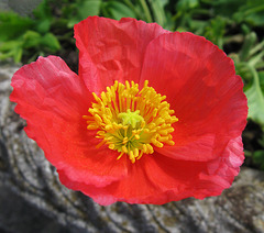 """Poppy Power"""