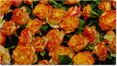 Journées de la ROSE à Doué la Fontaine
