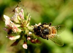 l'abeille butine
