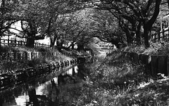 Channel under the cherry blossoms