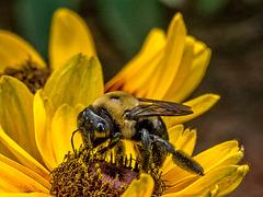 8252576dL Bee on black eyed susan