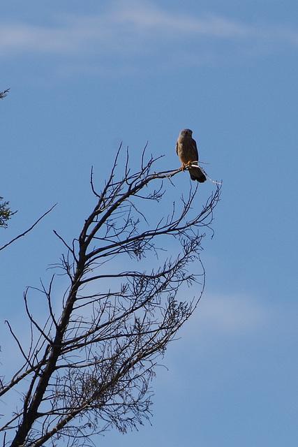 faucon crécerelle - Drôme