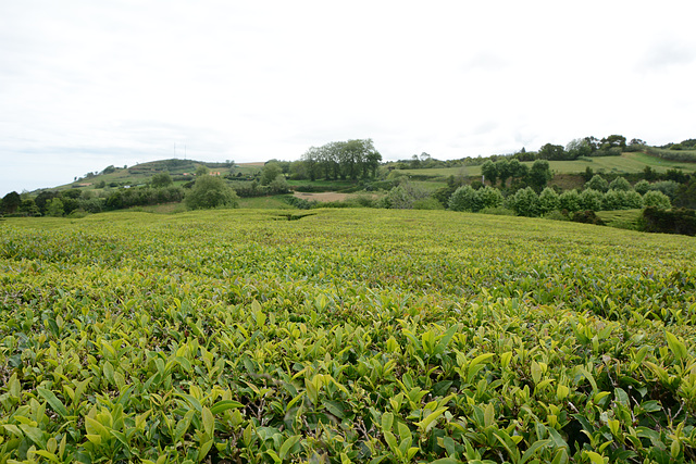 Azores, Island of San Miguel, The Tea Plantation of Gorreana