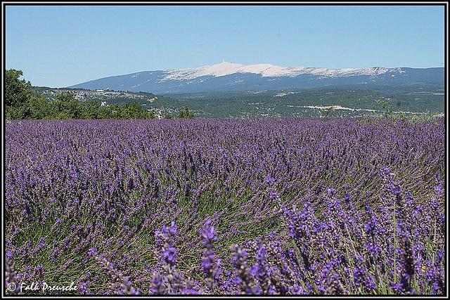Lavendel vorm Ventoux