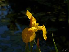 Wasserlilie  -  PiP