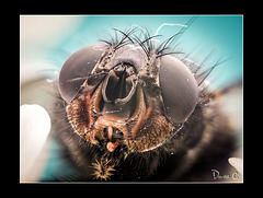 Bluebottle Fly  Portrait 1
