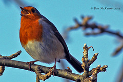 ♫ ♪ Rocking Robin Singing in the Tree Tops ♪ ♫  019