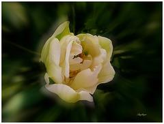 Tulipe ..............Bonne journée à tous !