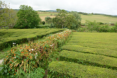 Azores, Island of San Miguel, The Tea Plantation of Gorreana