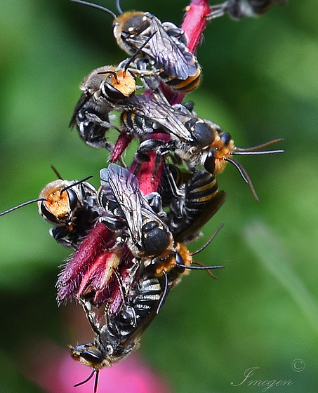 Nomia bees huddle together