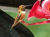 Rufous Hummingbird male / Selasphorus rufus