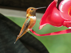 Rufous Hummingbird male / Selasphorus rufus