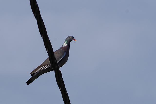 pigeon ramier - Drôme