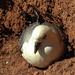 20180406 3621CPw [D~PI] Eissturmvogel (Fulmarus glaciallis), Helgoland