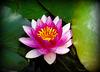 La floraison du jour / The day's flowering