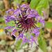 Centaurée des montagnes = Centaurea montana, Astéracées (Haute-Savoie, France)