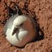 20180406 3622CPw [D~PI] Eissturmvogel (Fulmarus glaciallis), Helgoland