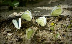 Small white's ~ Klein koolwitje (Pieris rapae)...