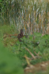 lapin de garenne (Oryctolagus cuniculus) - Drôme