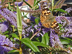 A Painted Lady enjoying the Hebe.