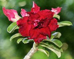 1T0A8281- Adénium rouge double-PIP