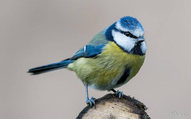 Blue Tit Portrait