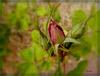 Pour Andy ...............La première rose de l'année ! !