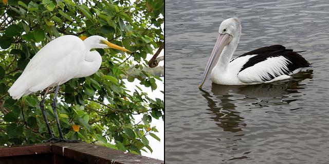Egret and Pelican