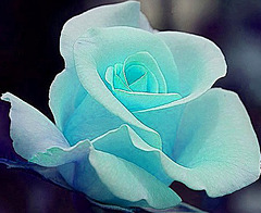 Rose ~ Tiffany Blue ~
