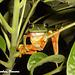 81 Red-Eyed Tree Frog (Agalychnis camdryas)