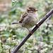 Sparrow (8)