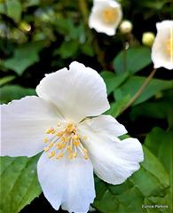 White Blossom.