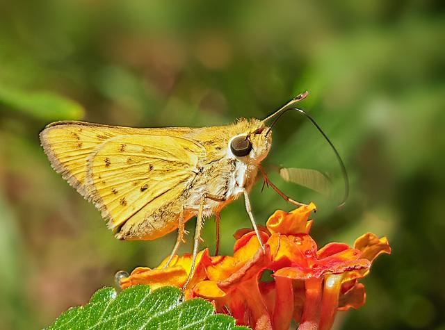 Butterfly on lantana.  8058042